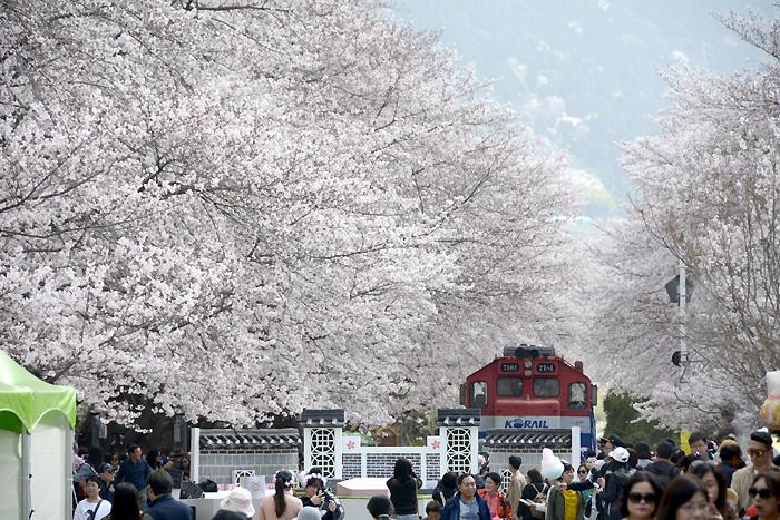 2018年4月2日、満開になった鎮海の桜